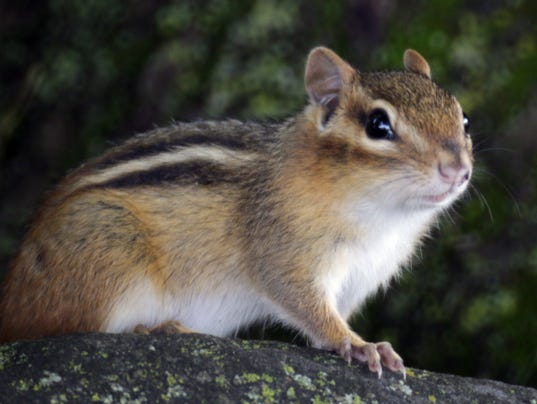Can Chipmunks Damage Property