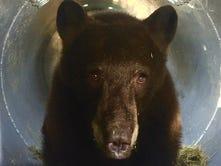 Wayward Reno bear has 'really good chance' at healthy life