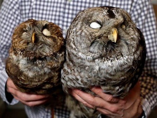 A spotted owl, left, and a barred owl specimen are held side-by-side by Jack Dumbacher, curator of the California Academy of Sciences Department of Ornithology and Mammalogy, in San Francisco on Thursday, Feb. 25, 2016. Studies are being conducted to understand how the invasive East Coast barred owl is impacting west coast populations of the threatened spotted owl. (Karl Mondon/San Jose Mercury News via AP)