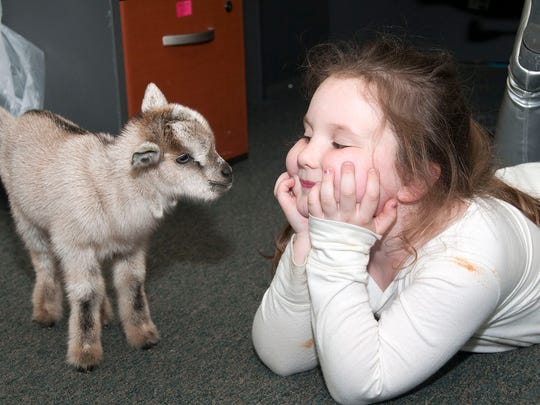 """Izabella Colburn, 5, makes friends with a six-day old baby goat she named """"Star"""" at Monsoon Lagoon in Danbury Township. Colburn's father Bill Coburn purchased the water park and fun center and is adding a safari park to the property this year."""