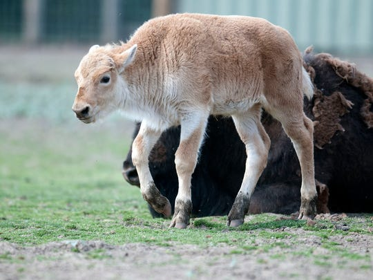 One of two rare White Bison calves born last year at African Safari Wildlife Park in Danbury Township goes for a walk.