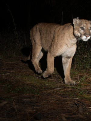 A pair of Florida panthers were captured last week by a camera trap set up on the north end of Corkscrew swamp in the CREW Land Trust lands. According to Darrell Land, the Florida Panther Team Leader for the  Florida Fish and Wildlife Conservation Commission, they could be mating pair, but he couldn't say for sure because the photos don't show their gender.The FWC website says that mating pairs stay together for about a week. Births can occur at any time of year but are most common between March and July. The gestation period for kittens is 92-96 days. Florida Fish and Wildlife Conservation Commission  panther biologists estimate there are 120-230 adults and yearlings in Florida.