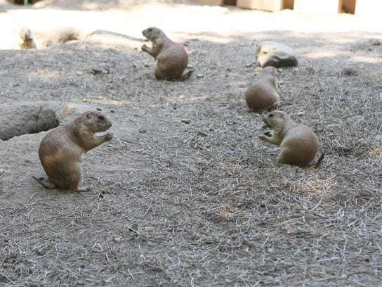 Prairie dogs pop up from their holes in the dirt a