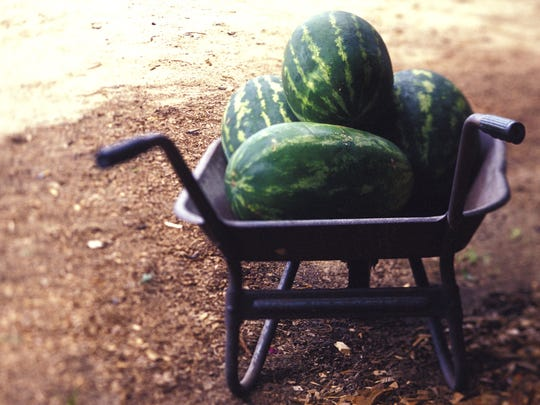 Knowing the right time to harvest melons from your
