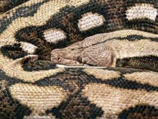 Boa Constrictor Pet Pet Boa Constrictor Reunited