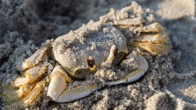 A ghost crab suns outside its hole on the beach in the northern side of Assateague Island National Seashore. The ghost crab can be a predator to plover eggs.