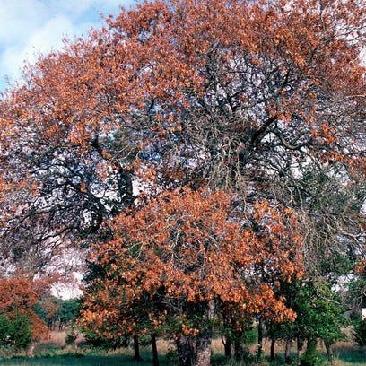 An oak tree dying from oak wilt.