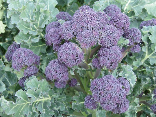 'Purple Sprouting' broccoli adds beauty to a platter of fresh vegetables.