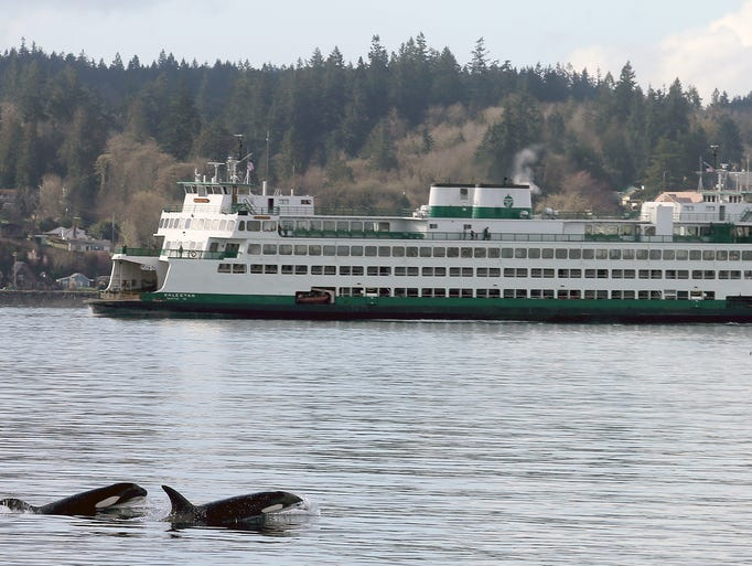 Two orcas pop up in front of the Bremerton Ferry leaving