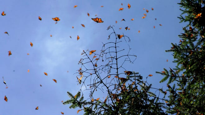Monarch butterflies gather on a tree branch at the Monarch Butterfly Biosphere Reserve in Sierra Chincua, Mexico in 2005.