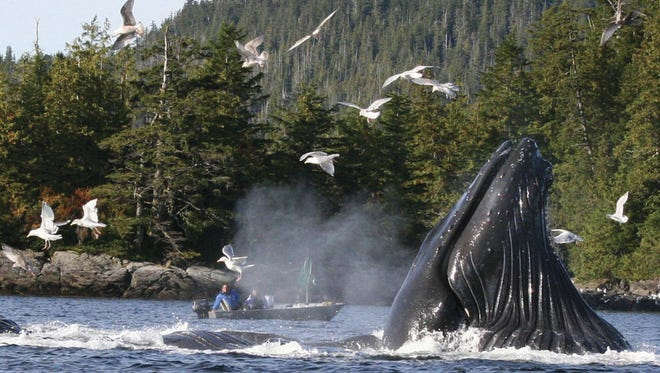 In this Oct. 3, 2009 file photo, boaters and fishermen watch as a group of up to six humpback whales feed on herring near Ketchikan, Alaska.