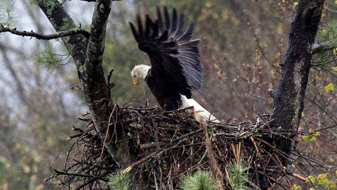 Some farmers and conservationists say the resurgence of the American bald eagle has come at a price.