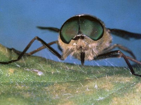UNSPECIFIED - CIRCA 2002: Pale giant horse-fly (Tabanus bovinus), Tabanidae. (Photo by DeAgostini/Getty Images)