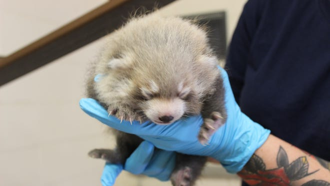 A red panda cub is held after being born in June at the Binghamton Zoo.