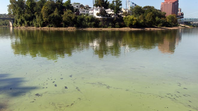 Algae blooms cover the Newport bank of the Licking River at its confluence with the Ohio River. In the background is Riverside Drive in Covington.