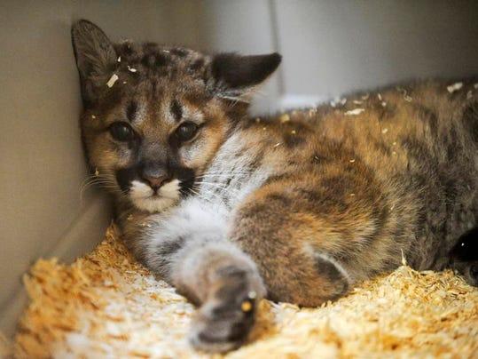 MAN n Zoo Cat Cougar 01.jpg
