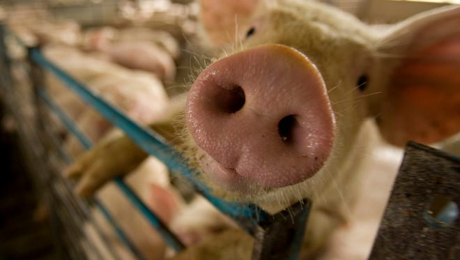 A pig climbs on a fence to get closer to the action Tuesday, Aug. 3, 2010, at Liberty Swine Farms in Wabash, Ind.