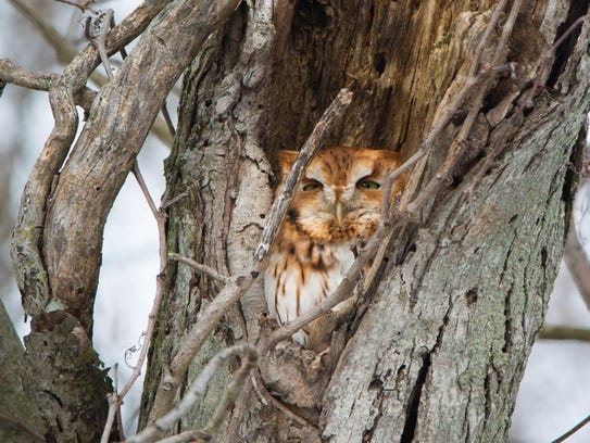A screech owl nearly brought the author to his knees