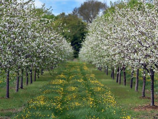 636300183072541157-DCA-0513-cherry-blossoms-1.jpg