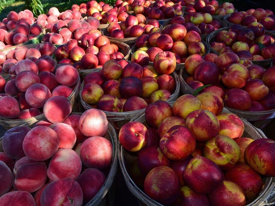 Peaches and nectarines were being harvested on Wednesday, August 9, 2017 at Tracey's Orchard, 12483 Hollowell Church Road, Greencastle.
