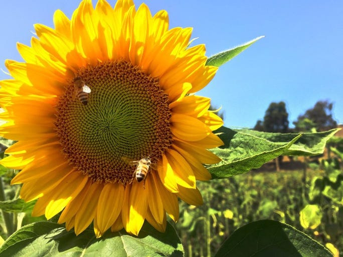 ROB VARELA/THE STAR A bee comes in for a landing on a sunflower where another bee is already working. Crews were harvesting sunflowers nearby in a field just off Victoria Avenue between Oxnard and Ventura Monday.