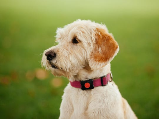 The PitPat monitors your dog's activity and makes health
