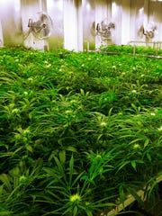 Marijuana plants are shown in this file photo.