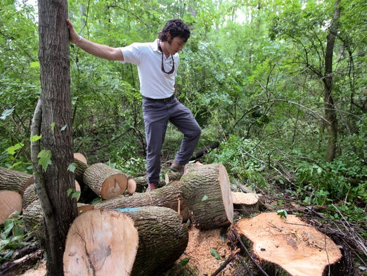 Arborist Chris Chandler looks over an ash tree that was cut by a contract crew for LG&E for signs of emerald ash borer damage. July 2, 2014