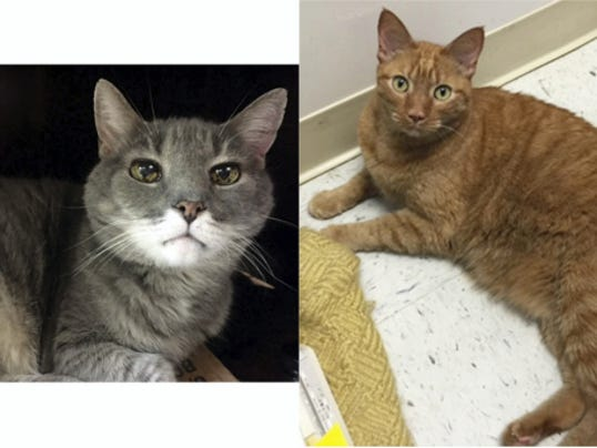 Chester (left) and Andre (right) are two brothers who came into the shelter because their owners were no longer able to care for them. Chester is 18 and Andre is 8 and we wanted to give them a chance to find a home. Our vet looked them both over and, despite their age, they both are in good health. Chester is the grey tiger and even though he's 18, you sure couldn't tell it. Our vet said he has some age-related issues, like his teeth and his eyes, but other than that, his heart sounds good and he has no discernable lumps or anything else that would be concerning. Chester is the talker of the duo and will definitely chat away for food. Andre is the orange tiger boy and he's a bit more reserved than his brother, but once he trusts you, it's all purring and snuggling. We know it's hard enough to find a home for two cats and these guys have an age that will add to that issue, but we just know there's someone out there who will see these faces and be willing to give these boys the second chance they really need. Please open your heart and home and help these guys.