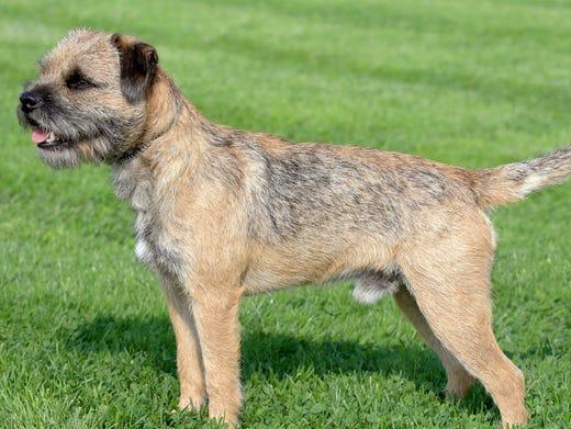 92. Border terriers • 2016 rank: 86 • 2007 rank: 81