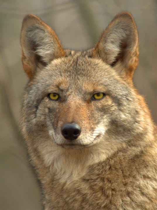 Coyotes in Lansing? Yes, indeed