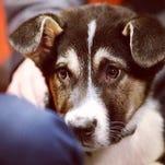 Sochi puppy