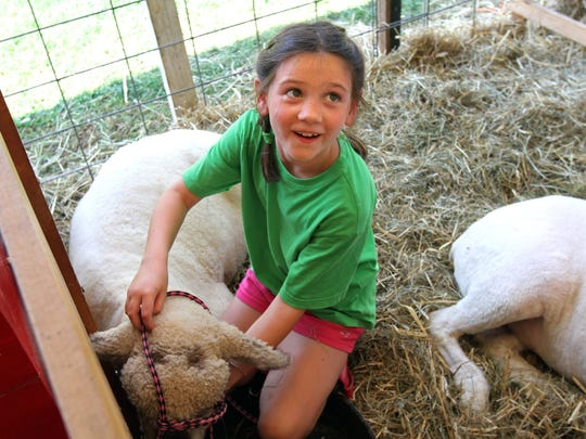 Katie Walto of North Plainfield and the Woolly Ones 4-H Club, puts a harness on a sheep at the 2015 Somerset County 4-H Fair.