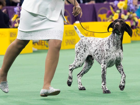 English Pointers At The Westminster Dog Show