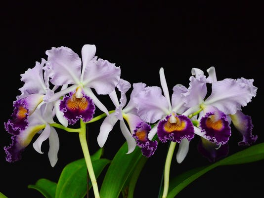 IMG_OrchidShowHiRes.JPG_1_1_GV3RN216.jpg_20130412.jpg