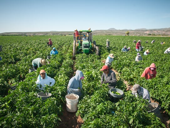 Workers bring in the 2015 chile harvest from the Hatch