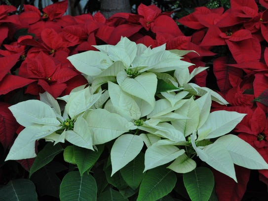 Poinsettias can be kept year-round as long as they