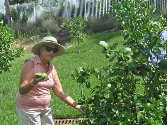 Del Edgar picks limes from one of the fruit trees.