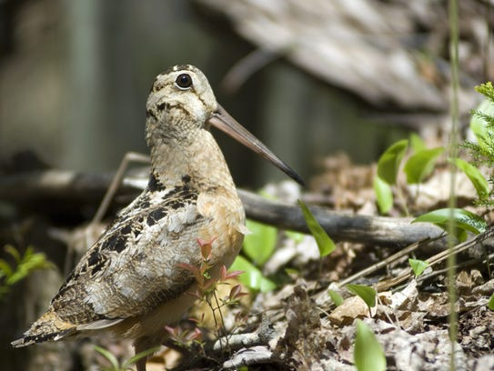 Michigan is one of the nation's top nesting locations