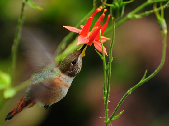 Insects and hummingbirds get nectar from the native
