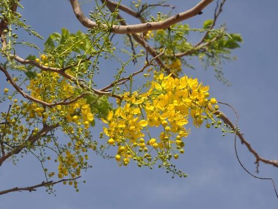 Flowering trees bloom with vibrant colors in southwest florida the golden rain tree has its full yellow colors now mightylinksfo Image collections
