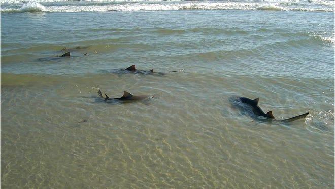 Lemon sharks cruise the shore on the Space Coast