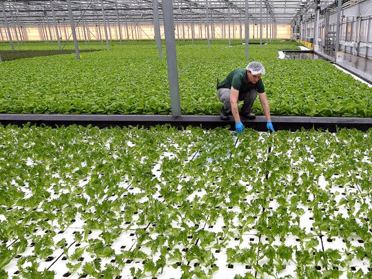 Laurie Cook checks greens growing in hydroponic beds
