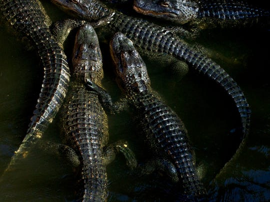 In this 2015 photo, visitors can help feed alligators at the Everglades Wonder Gardens in Bonita Springs.