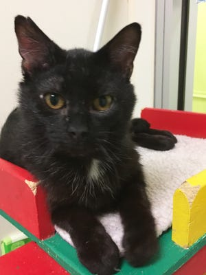 Evergreen Lollipop is the most lovable cat ever and likes to sit in laps, purr and get petted.