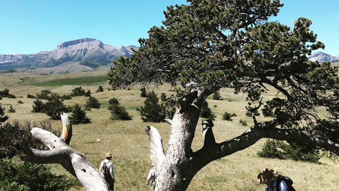 A hiker picks fresh currants from a bush at the base of a limber pine tree beyond the Rocky Mountain Front. Ear Mountain can be seen in the distance.