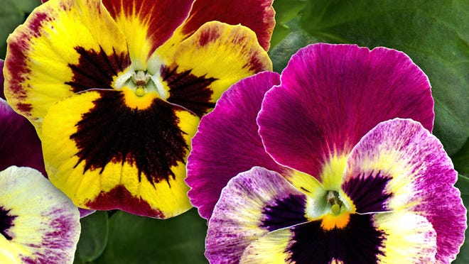 Finish planting pansies this month.