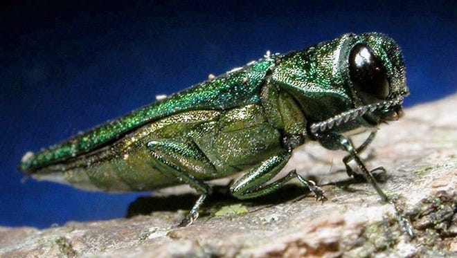 The emerald ash borer is a metallic, coppery-green color and one-third to one-half inch long. Photo courtesy of Michigan State University.