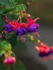 With a little loving care, fuchsias will make it through winter to live another day. Photo by.