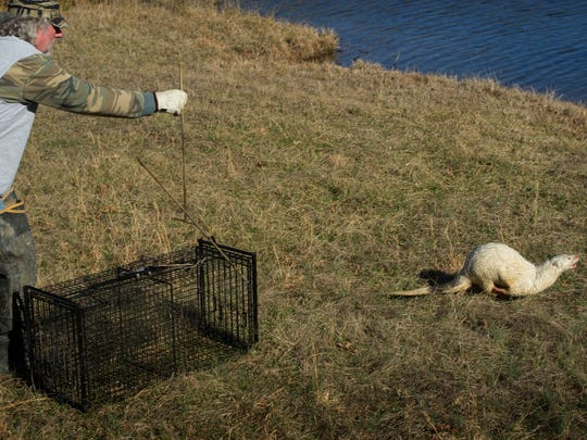 It only took a split second for the white river otter to see it's opportunity for escape from Mike Wathen's trap Friday afternoon. Wathen, a trapper hired to eradicate nuisance beaver in the Northern Vanderburgh County area, found this rare mammal in his trap and released it back to the wild.